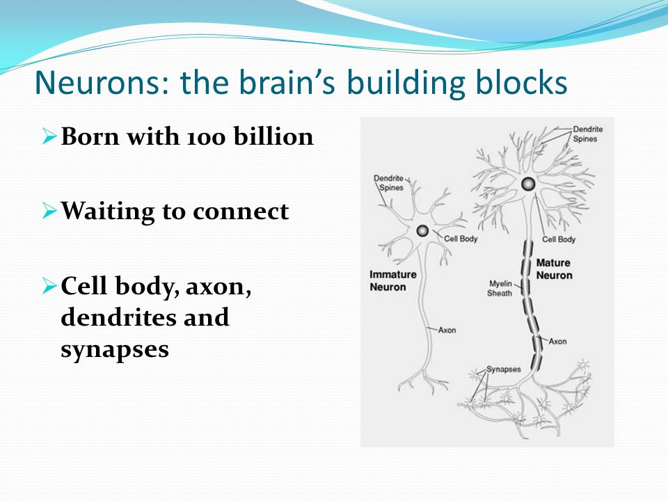 Neurons: the brain's building blocks  Born with 100 billion  Waiting to connect  Cell body, axon, dendrites and synapses