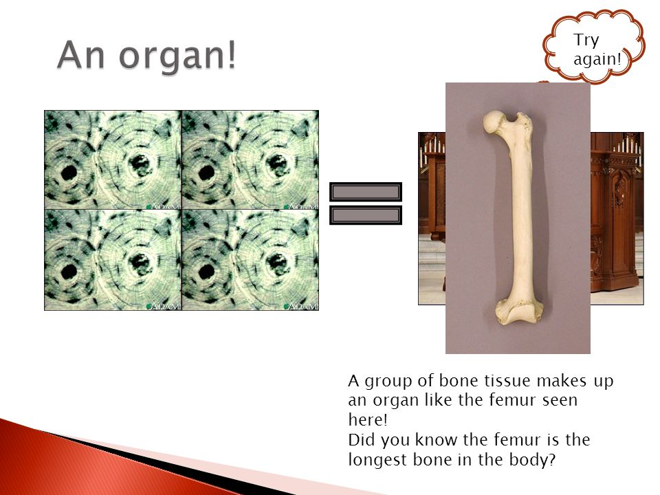 Try again. A group of bone tissue makes up an organ like the femur seen here.