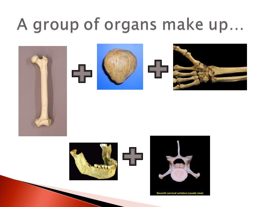 A group of organs (bones) make up the skeletal system!