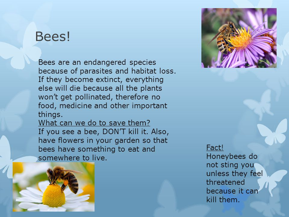 Bees! Bees are an endangered species because of parasites and habitat loss. If they become extinct, everything else will die because all the plants wo