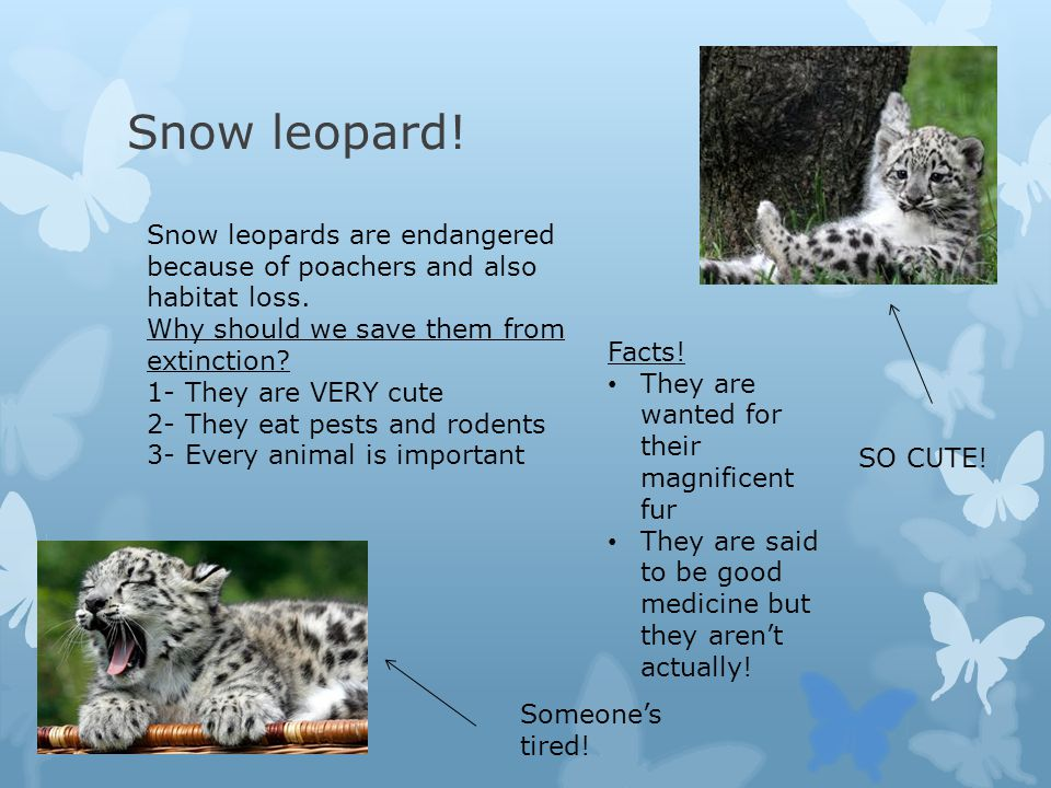 Snow leopard! SO CUTE! Someone's tired! Snow leopards are endangered because of poachers and also habitat loss. Why should we save them from extinctio