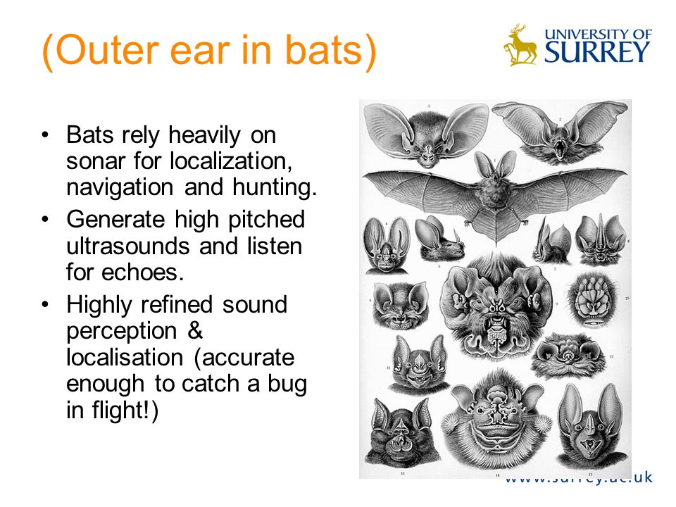 (Outer ear in bats) Bats rely heavily on sonar for localization, navigation and hunting. Generate high pitched ultrasounds and listen for echoes. High