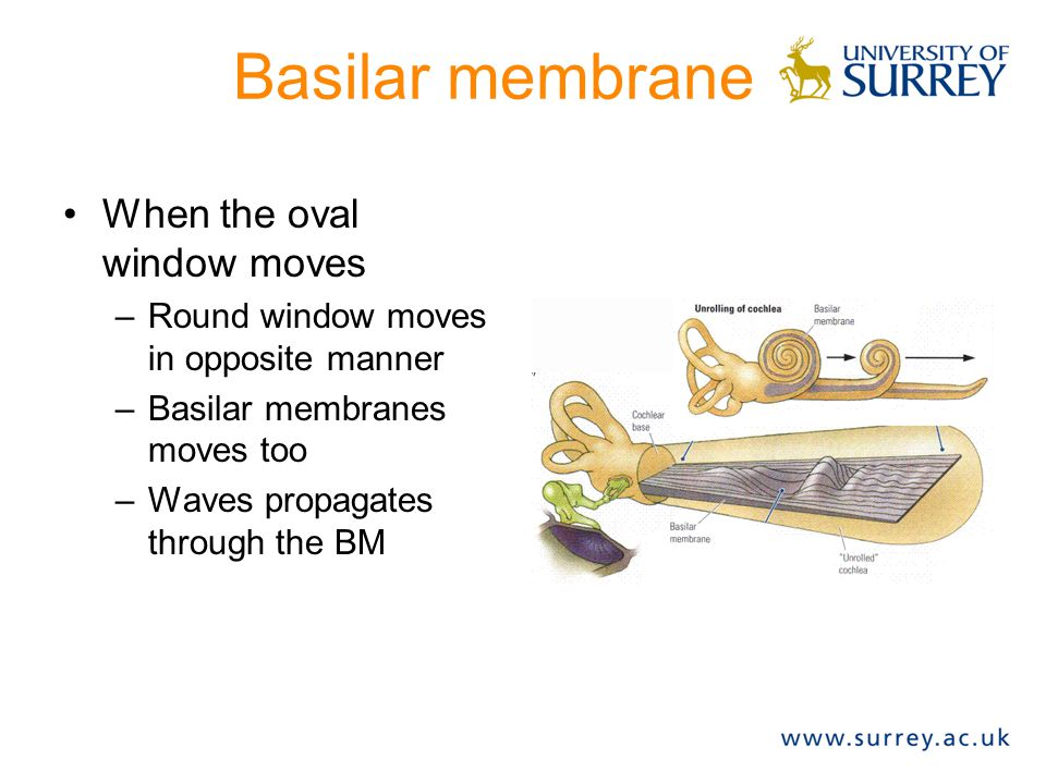Basilar membrane When the oval window moves –Round window moves in opposite manner –Basilar membranes moves too –Waves propagates through the BM