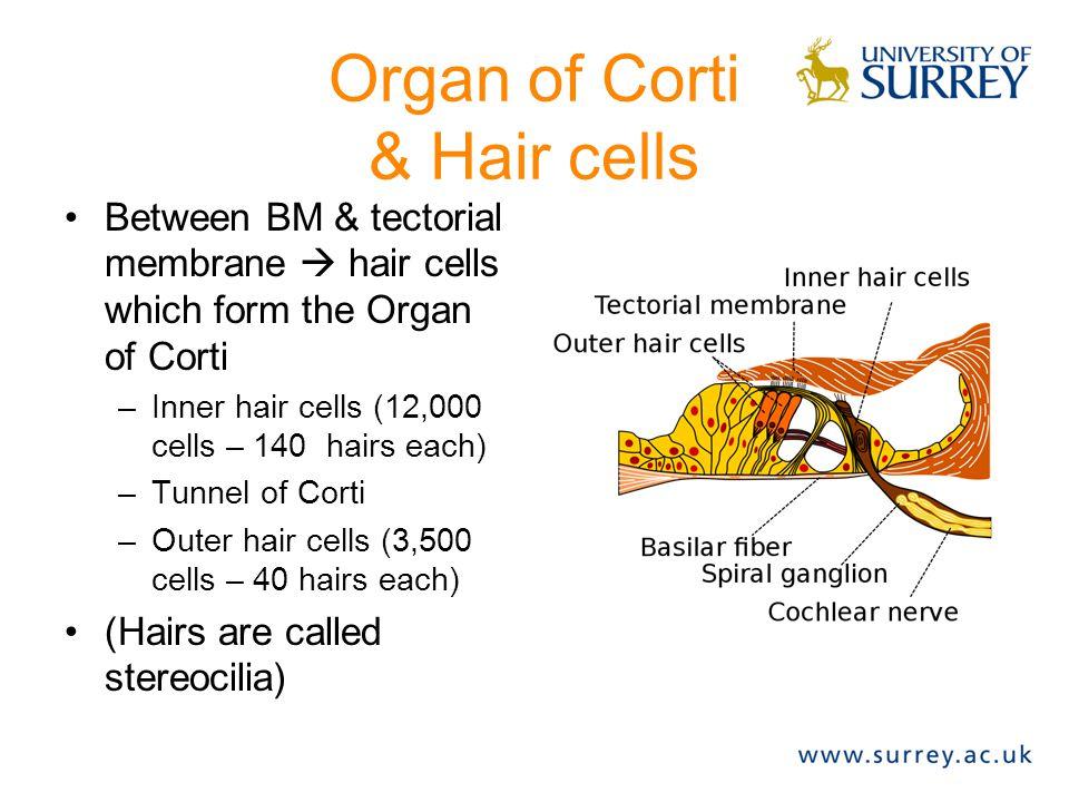 Organ of Corti & Hair cells Between BM & tectorial membrane  hair cells which form the Organ of Corti –Inner hair cells (12,000 cells – 140 hairs eac