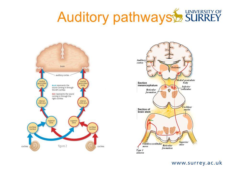 Auditory pathways