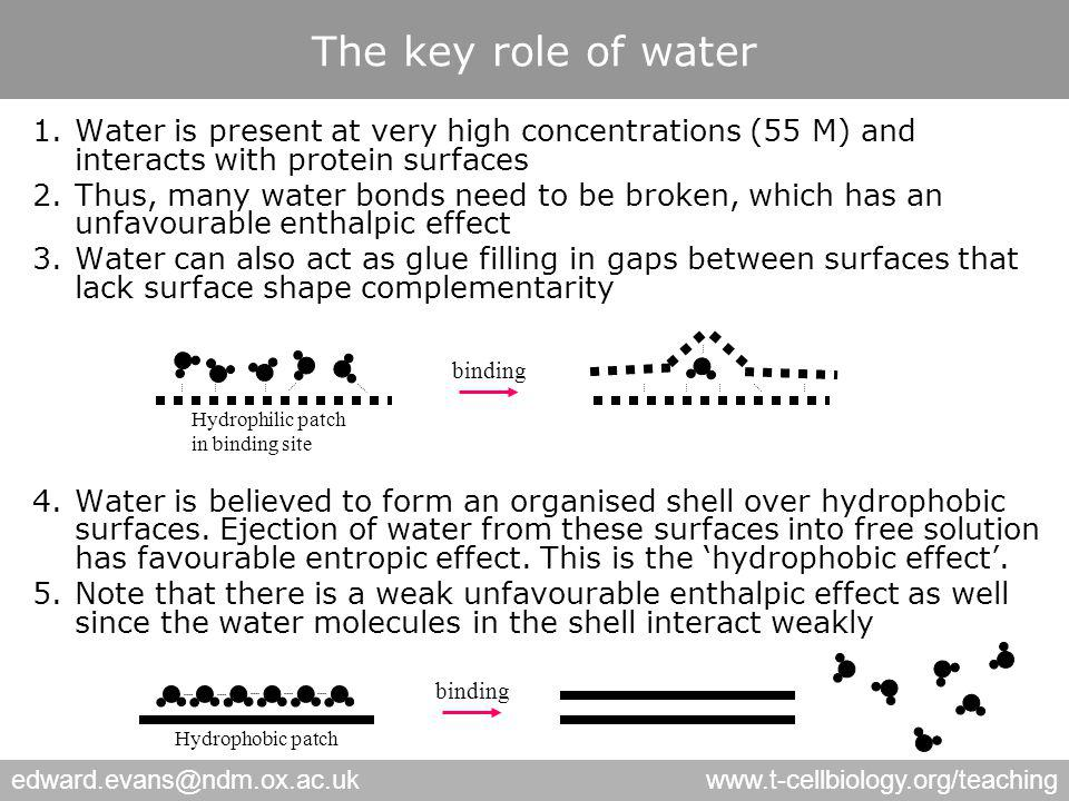 edward.evans@ndm.ox.ac.ukwww.t-cellbiology.org/teaching The key role of water 1.Water is present at very high concentrations (55 M) and interacts with protein surfaces 2.Thus, many water bonds need to be broken, which has an unfavourable enthalpic effect 3.Water can also act as glue filling in gaps between surfaces that lack surface shape complementarity 4.Water is believed to form an organised shell over hydrophobic surfaces.