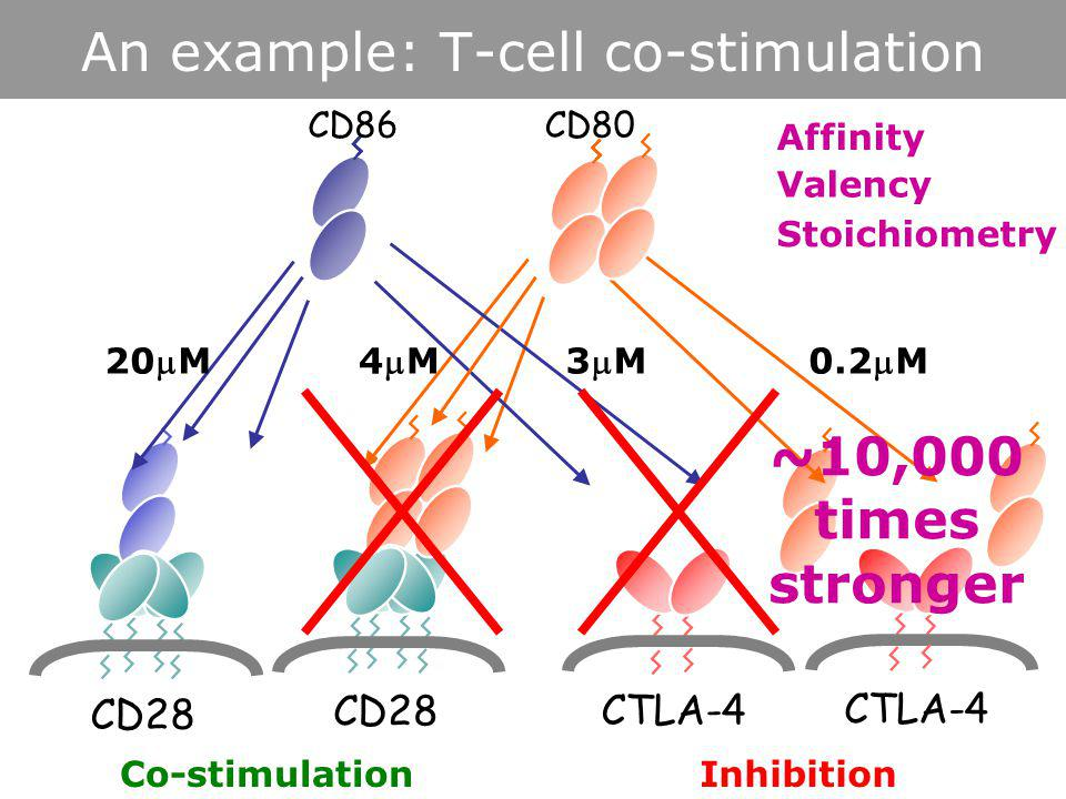 edward.evans@ndm.ox.ac.ukwww.t-cellbiology.org/teaching An example: T-cell co-stimulation CD80 CD28 CTLA-4 CD28 CTLA-4 CD86 Co-stimulationInhibition 20M4M4M3M3M0.2M Affinity Valency Stoichiometry ~10,000 times stronger