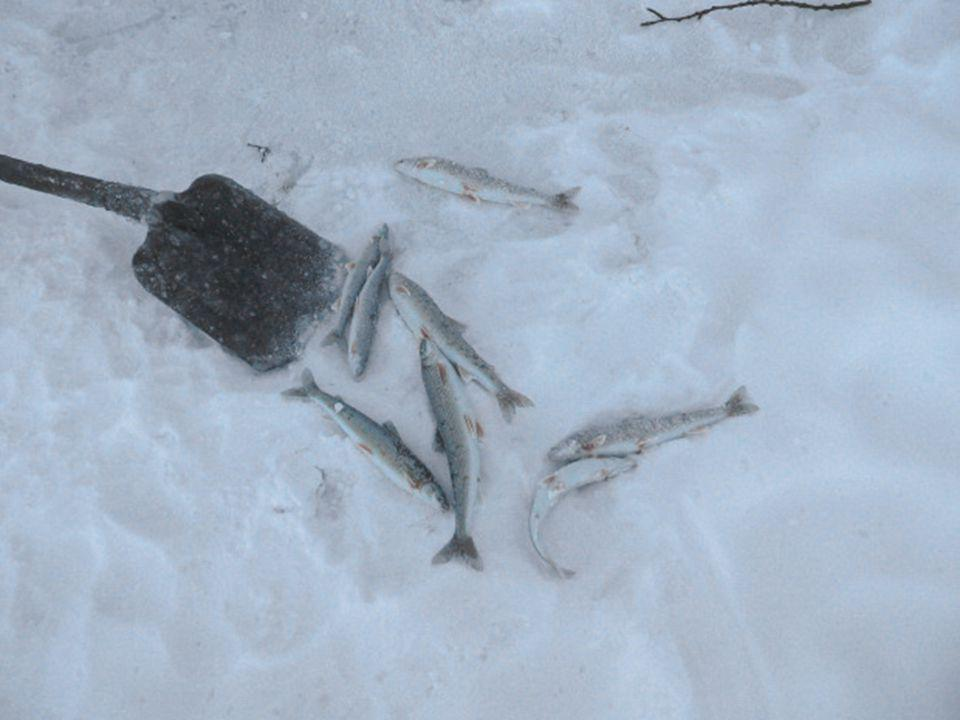 During fishing, the fish is already covered with ice as it leaves the water. Thirty seconds is enough for it to be frozen hard as a rock. Another curi