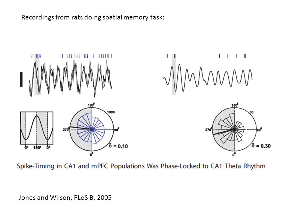 Jones and Wilson, PLoS B, 2005 Recordings from rats doing spatial memory task: