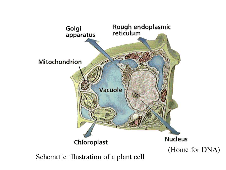 Schematic illustration of a plant cell (Home for DNA)