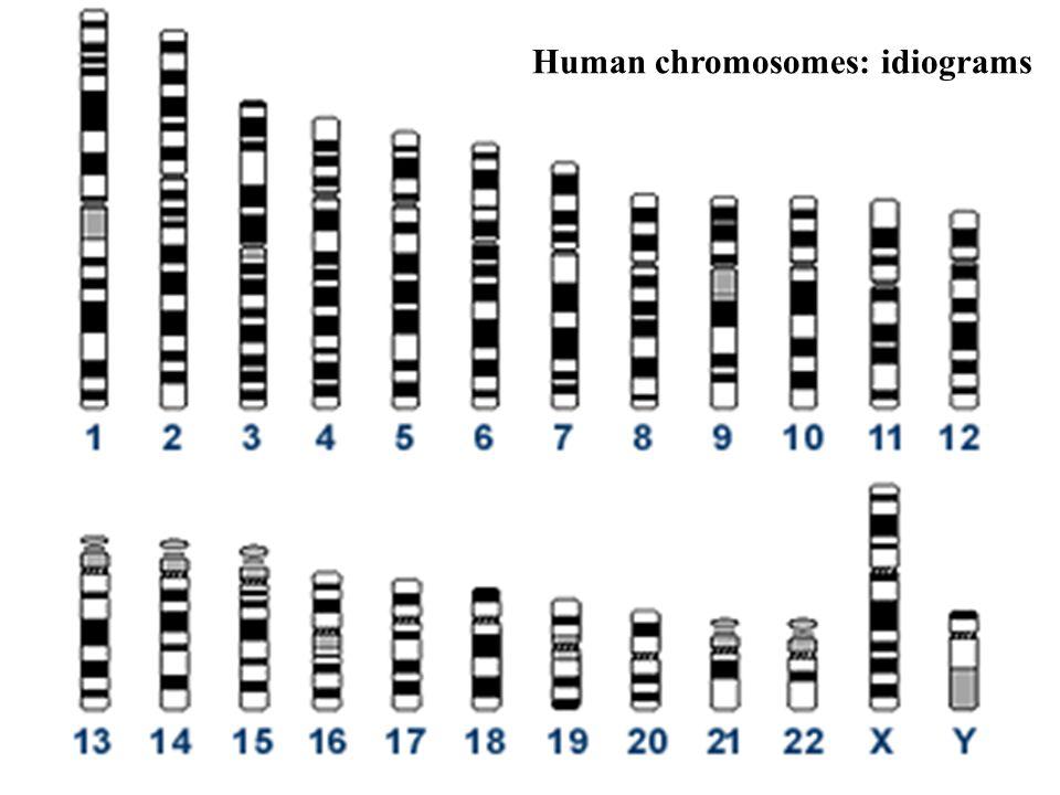 Human chromosomes: idiograms