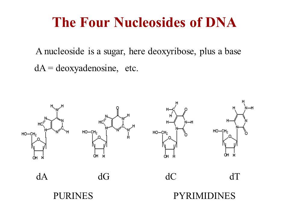 The Four Nucleosides of DNA dA dG dC dT A nucleoside is a sugar, here deoxyribose, plus a base dA = deoxyadenosine, etc.