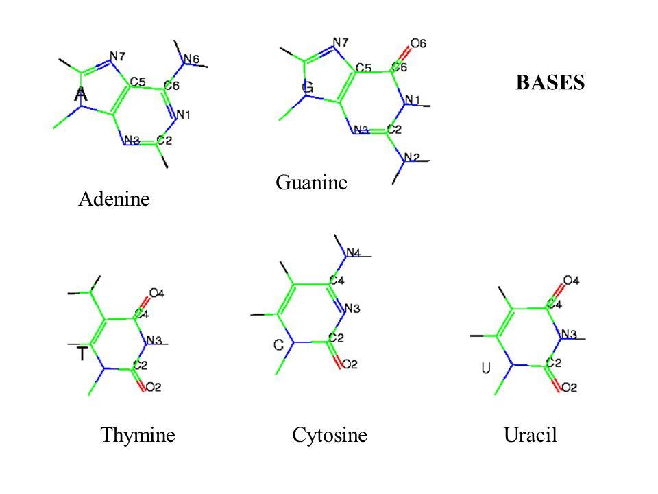 Adenine Guanine ThymineCytosineUracil BASES