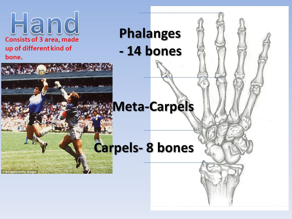 Consists of 3 area, made up of different kind of bone.