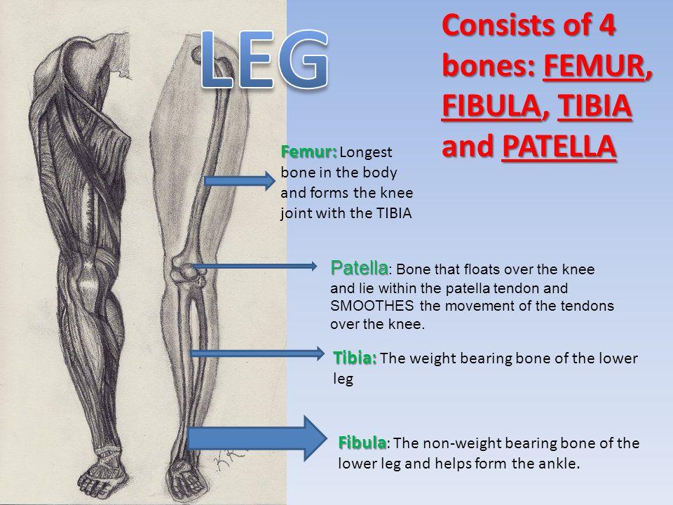 Consists of 4 bones: FEMUR, FIBULA, TIBIA and PATELLA Femur: Femur: Longest bone in the body and forms the knee joint with the TIBIA Tibia: Tibia: The