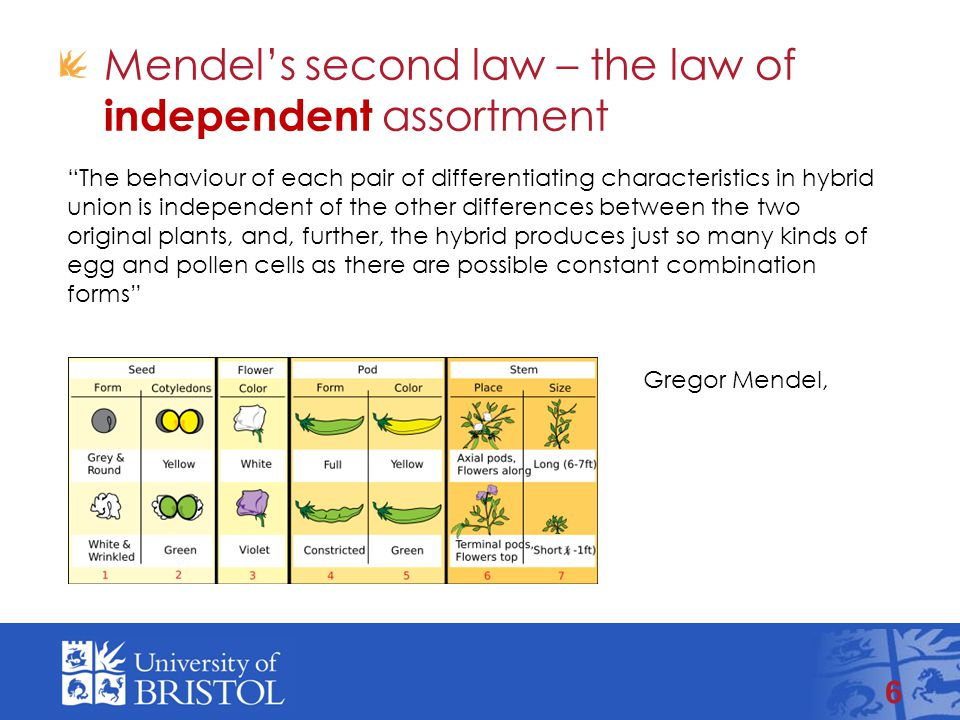 Mendel's second law – the law of independent assortment 6 The behaviour of each pair of differentiating characteristics in hybrid union is independent of the other differences between the two original plants, and, further, the hybrid produces just so many kinds of egg and pollen cells as there are possible constant combination forms Gregor Mendel, 1865.