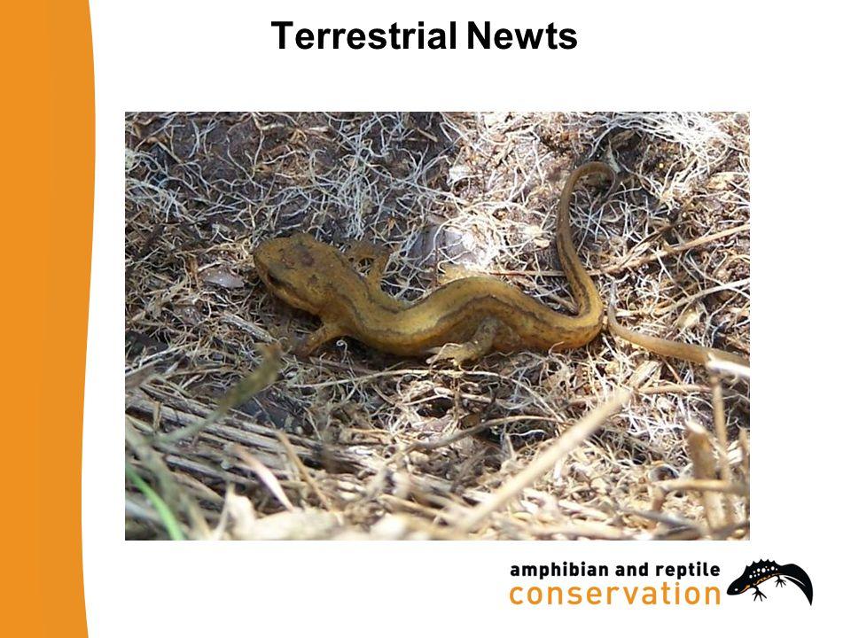 Terrestrial Newts