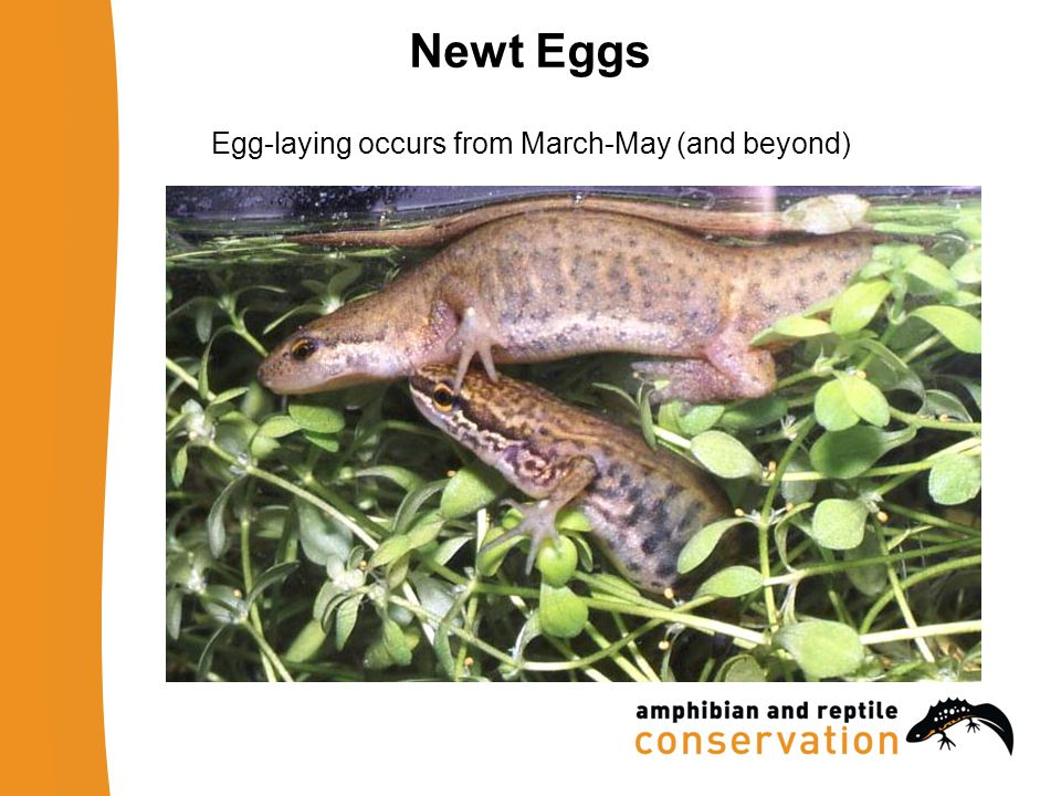 Newt Eggs Egg-laying occurs from March-May (and beyond)