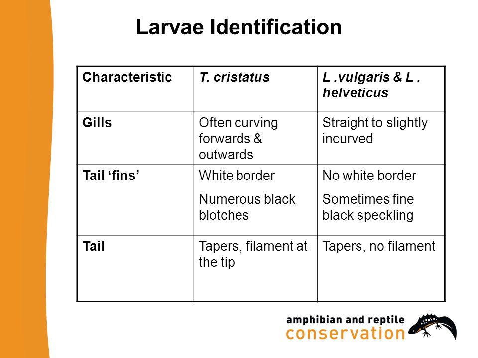 Larvae Identification CharacteristicT. cristatusL.vulgaris & L.