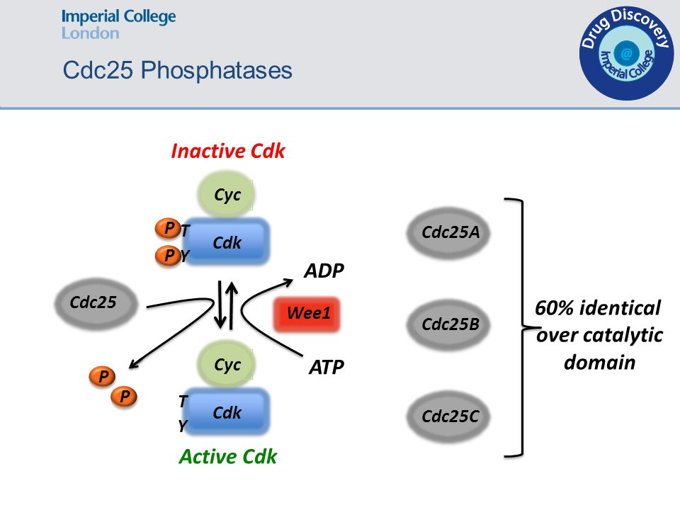 Cdc25A Cdc25B Cdc25C 60% identical over catalytic domain Cdc25 Phosphatases