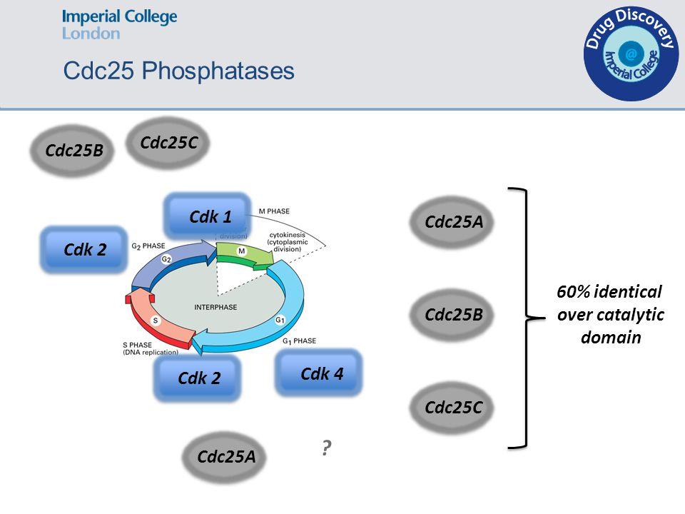 Cdc25A Cdk 2 Cdk 1 Cdk 4 Cdc25B Cdc25C ? Cdk 2 Cdc25ACdc25BCdc25C 60% identical over catalytic domain Cdc25 Phosphatases