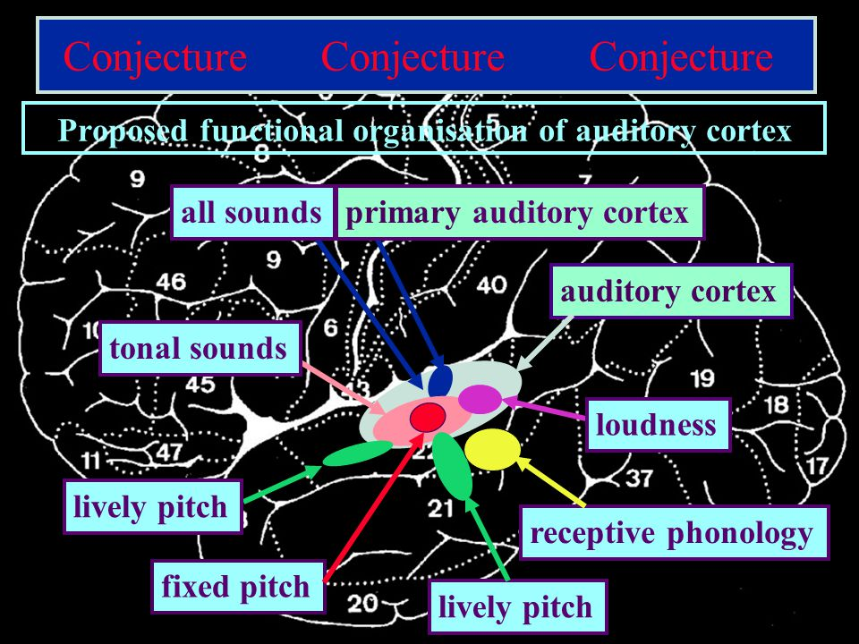 CNBH, PDN, University of Cambridge auditory cortexprimary auditory cortexall soundstonal sounds fixed pitch lively pitch loudness Conjecture Conjecture Conjecture Proposed functional organisation of auditory cortex receptive phonology