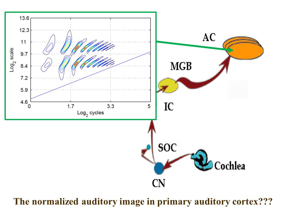 CNBH, PDN, University of Cambridge Auditory Image The normalized auditory image in primary auditory cortex???