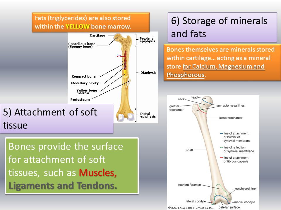 1) Learners must describe the axial and appendicular skeleton.
