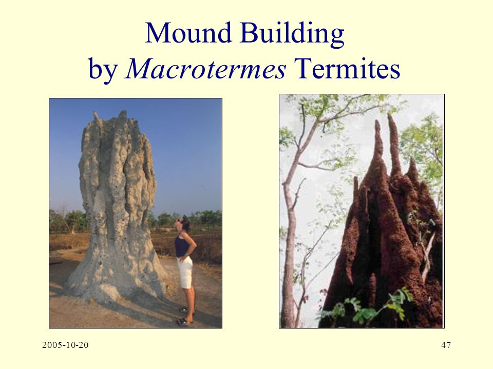 2005-10-2047 Mound Building by Macrotermes Termites