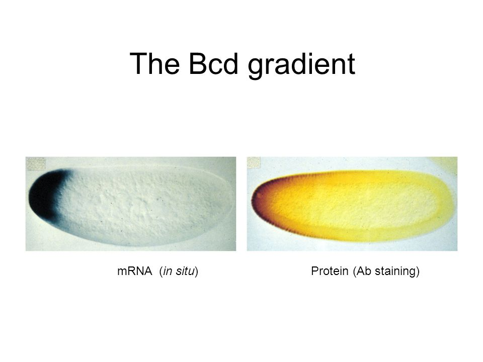 The Bcd gradient mRNA (in situ)Protein (Ab staining)