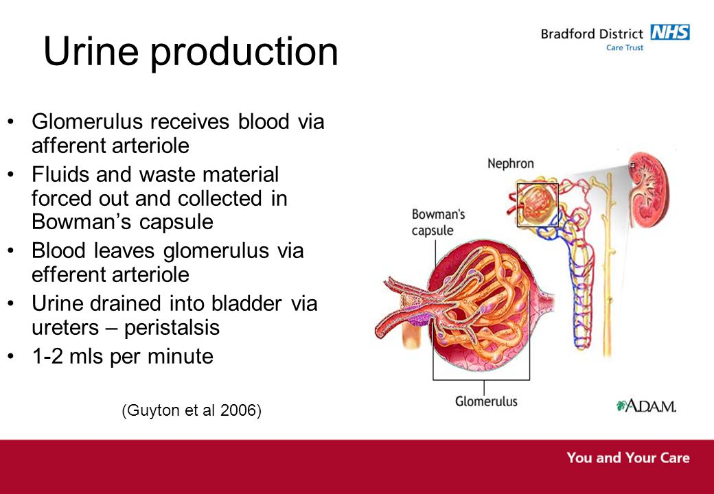 Emptying the bladder Micturition centre co-ordinates the change from storage to voiding Sensory impulses initiate the desire to void Co-ordinated relaxation of the urethral sphincter and detrusor contraction allows the bladder to empty This action can be suppressed