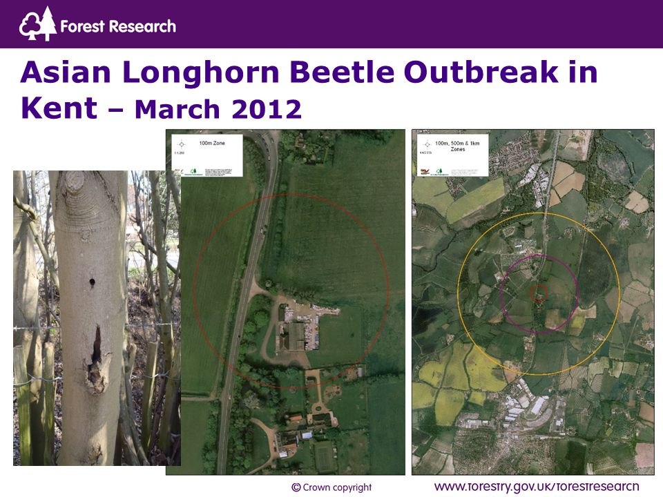 Asian Longhorn Beetle Outbreak in Kent – March 2012