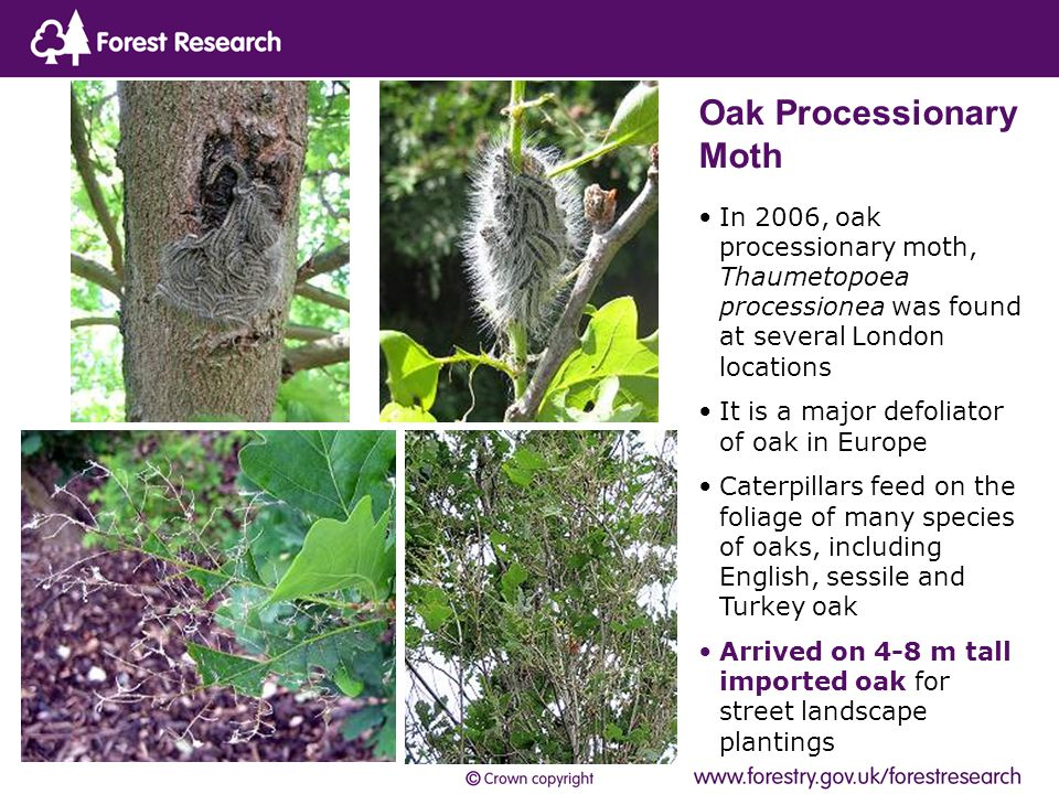 In 2006, oak processionary moth, Thaumetopoea processionea was found at several London locations It is a major defoliator of oak in Europe Caterpillars feed on the foliage of many species of oaks, including English, sessile and Turkey oak Arrived on 4-8 m tall imported oak for street landscape plantings Oak Processionary Moth