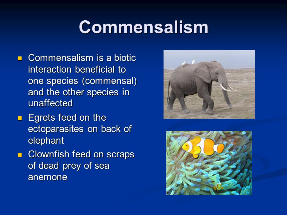 Commensalism Commensalism is a biotic interaction beneficial to one species (commensal) and the other species in unaffected Commensalism is a biotic i