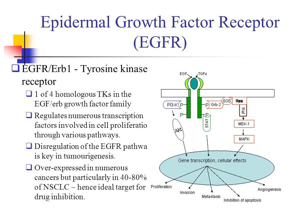 Epidermal Growth Factor Receptor (EGFR)  EGFR/Erb1 - Tyrosine kinase receptor  1 of 4 homologous TKs in the EGF/erb growth factor family  Regulates