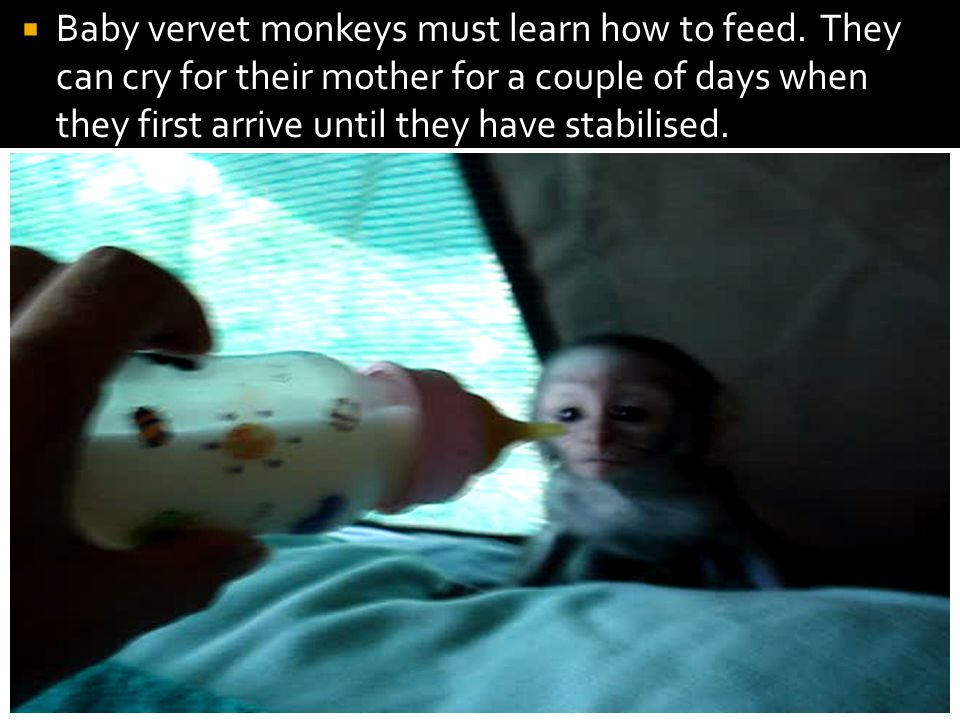  Baby vervet monkeys must learn how to feed.