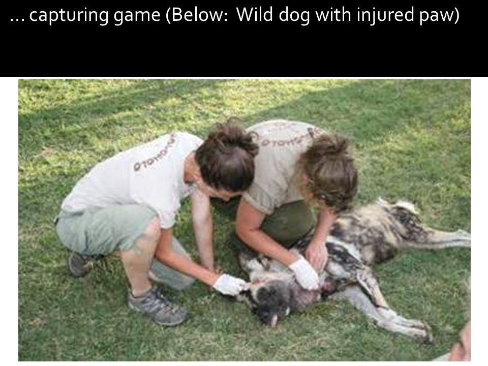 ... capturing game (Below: Wild dog with injured paw)