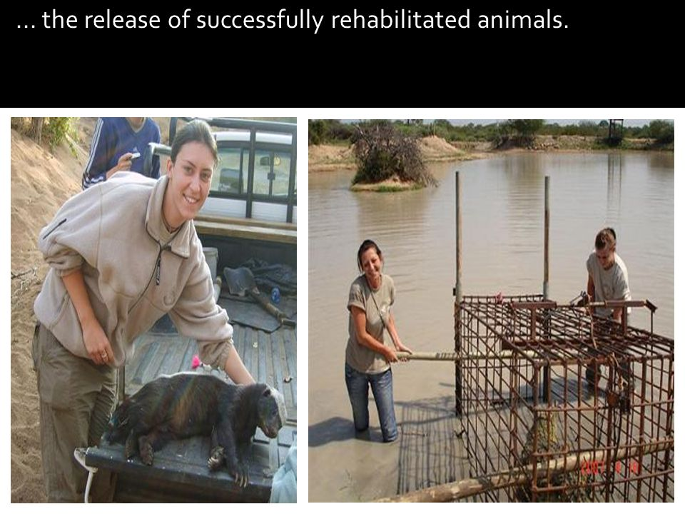 ... the release of successfully rehabilitated animals.