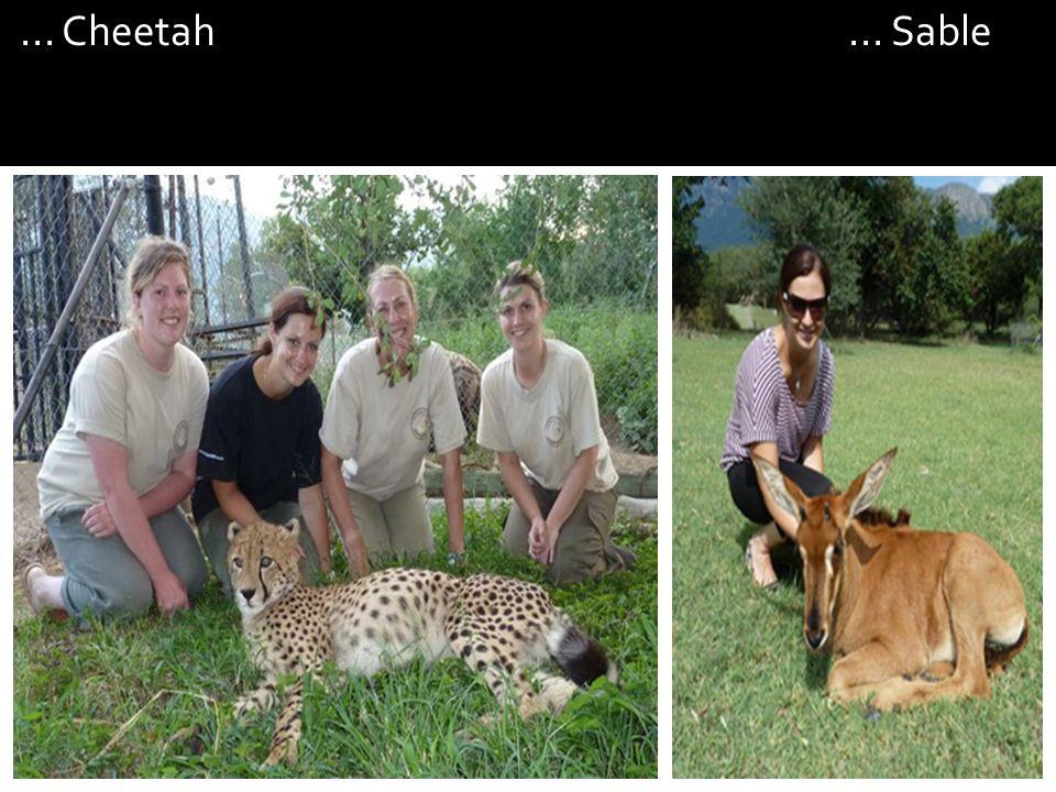 ... Cheetah... Sable