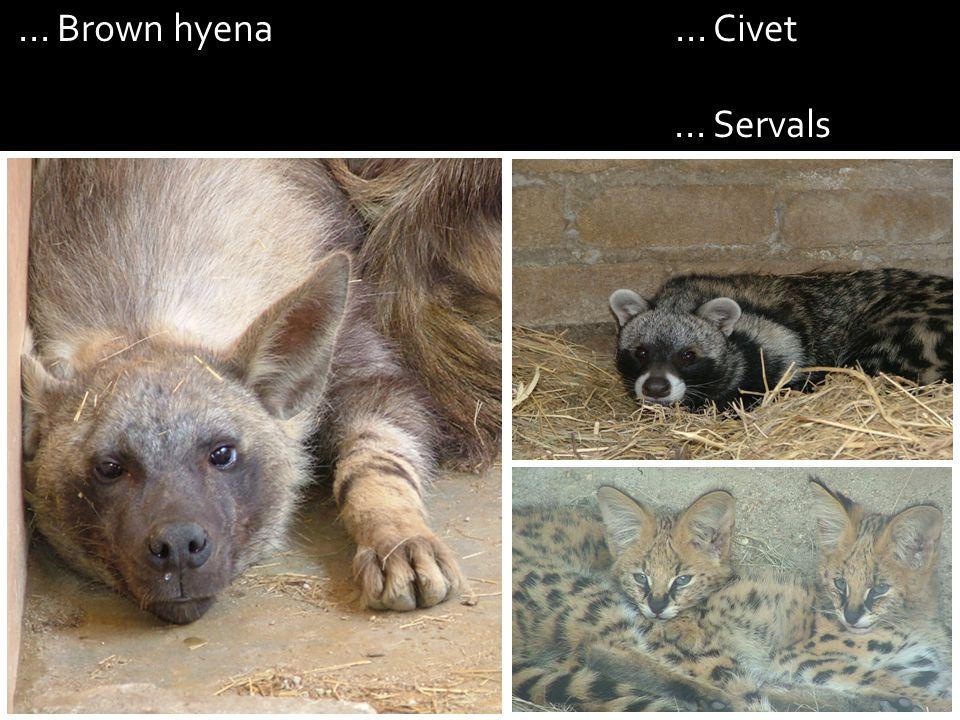 ... Brown hyena... Civet... Servals
