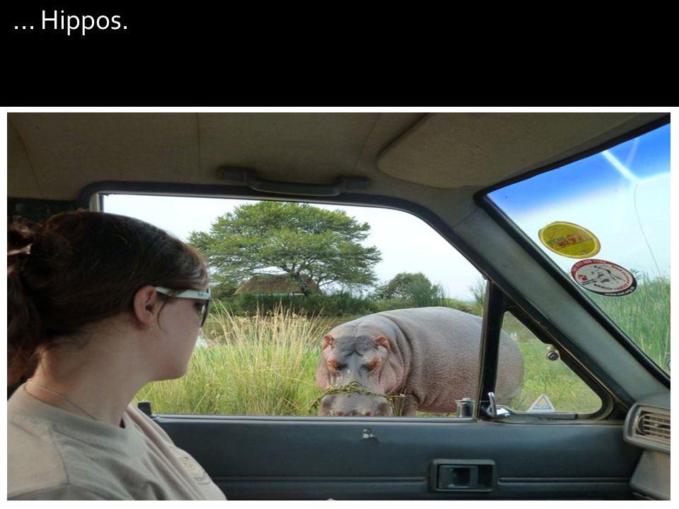 ... Hippos.