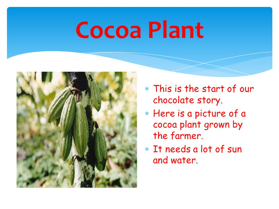 Cocoa Plant  This is the start of our chocolate story.
