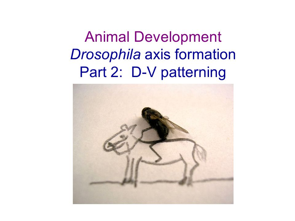 Problem: Dorsal protein is the transcription factor that interprets the DV information in the egg.