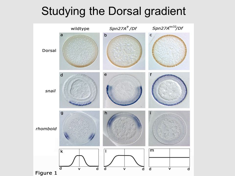Dorsal-ventral polarity è D-V axis is initially set up by maternal genes and depends on cell-cell signalling rather than on localised determinants in