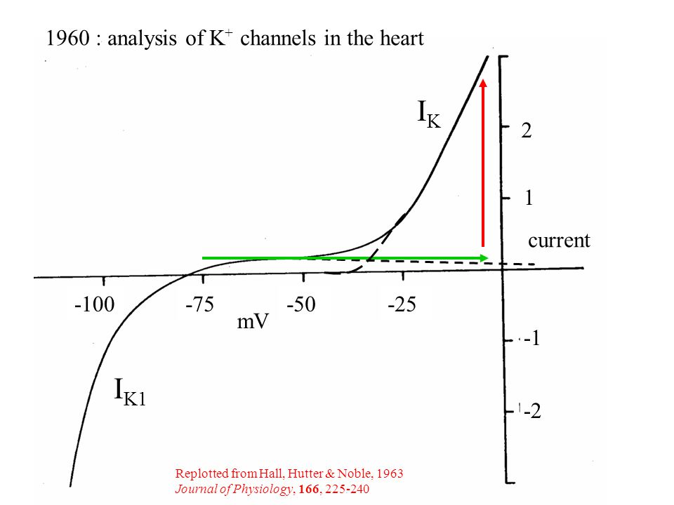 1960 : analysis of K + channels in the heart mV current I K1 IKIK Replotted from Hall, Hutter & Noble, 1963 Journal of Physiology, 166,