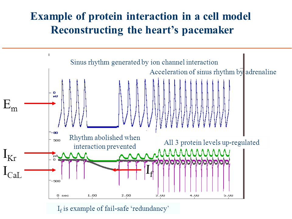 Example of protein interaction in a cell model Reconstructing the heart's pacemaker Sinus rhythm generated by ion channel interaction I Ca L I Kr EmEm I f is example of fail-safe 'redundancy' Rhythm abolished when interaction prevented Acceleration of sinus rhythm by adrenaline IfIf All 3 protein levels up-regulated