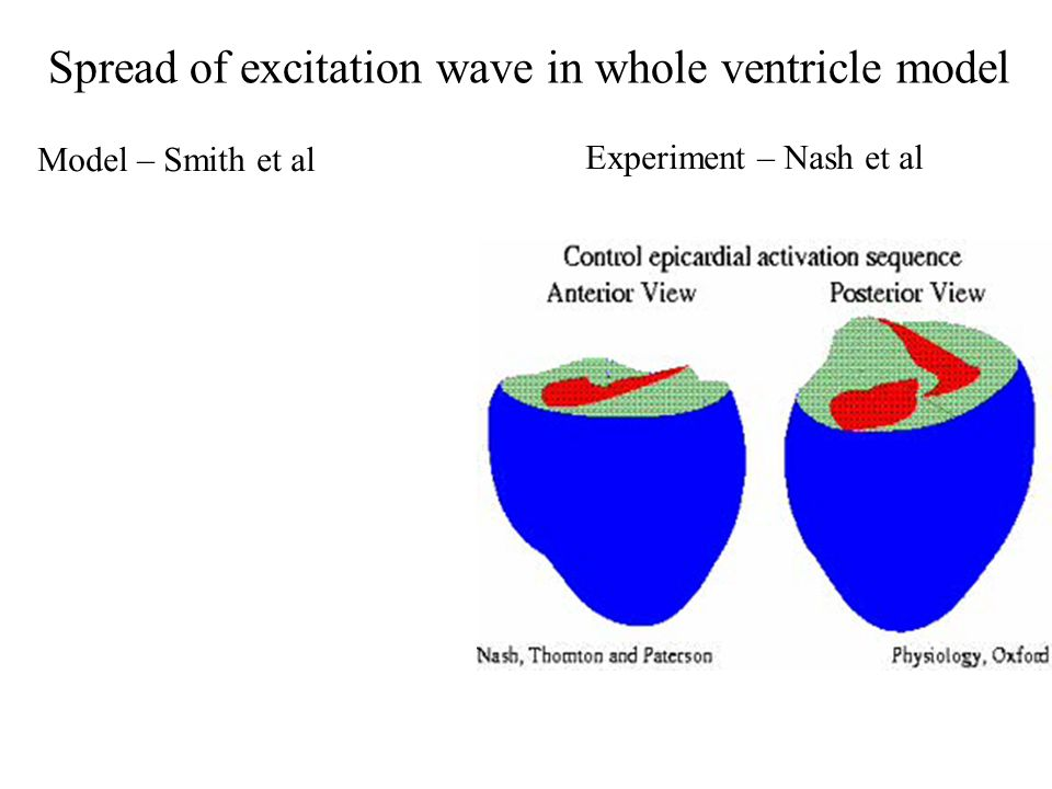 Spread of excitation wave in whole ventricle model Model – Smith et al Experiment – Nash et al