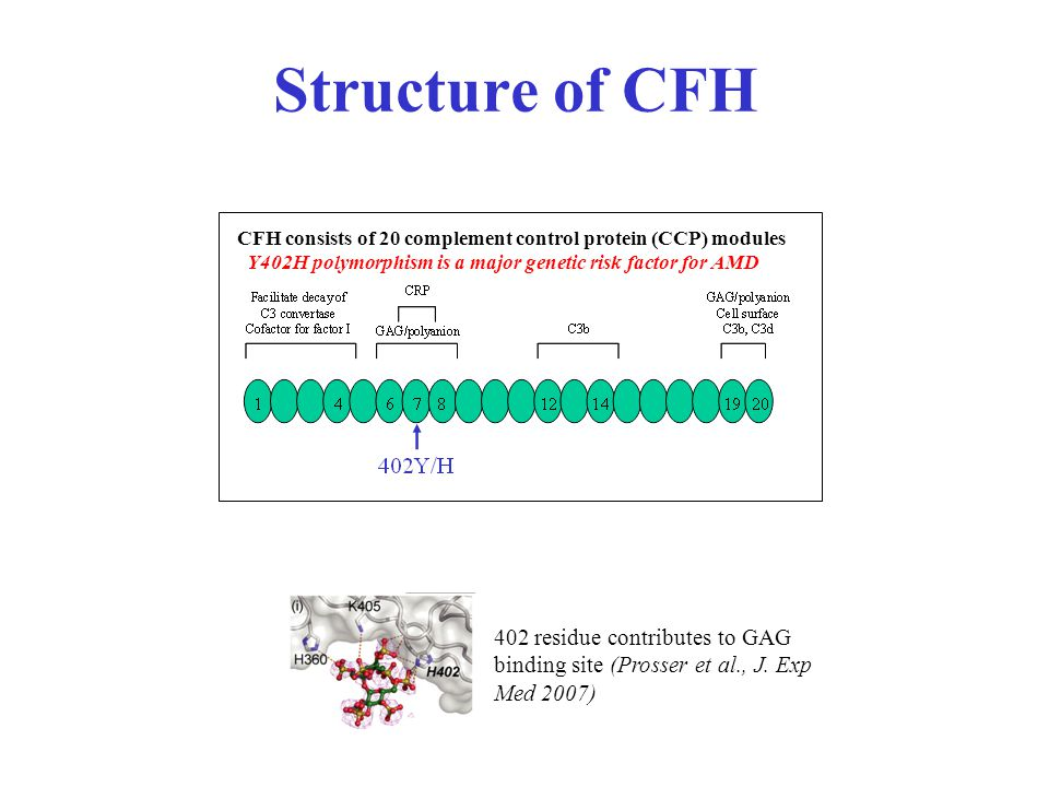 Structure of CFH CFH consists of 20 complement control protein (CCP) modules Y402H polymorphism is a major genetic risk factor for AMD 402 residue contributes to GAG binding site (Prosser et al., J.