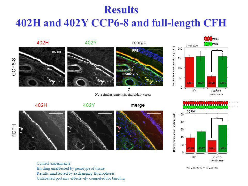Results 402H and 402Y CCP6-8 and full-length CFH flCFH * P = 0.0005, ** P = 0.009 402H402Y402H402Y RPEBruch's membrane 200 Relative fluorescence (arbitrary units) 150 100 50 0 CCP6-8 * 402H402Y402H402Y RPE Bruch's membrane 80 Relative fluorescence (arbitrary units) 60 40 20 0 100 flCFH ** 402H402Y merge Note similar pattern in choroidal vessels Control experiments: Binding unaffected by genotype of tissue Results unaffected by exchanging fluorophores Unlabelled proteins effectively competed for binding CCP6-8 402H402Y merge RPE Bruch's membrane 100 µm