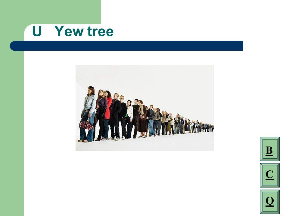 U Yew tree B C Q